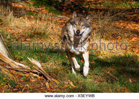 European gray wolf (Canis lupus lupus), running in a meadow at the forest edge, Germany, Bavaria, Bavarian Forest National Park - Stock Photo