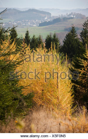 Larches mixed forest in autumn in front of Eversberg - Stock Photo
