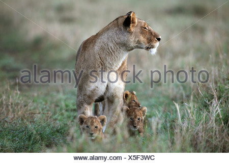 Lioness (Panthera leo) and cubs, Masai Mara National Reserve, Kenya - Stock Photo