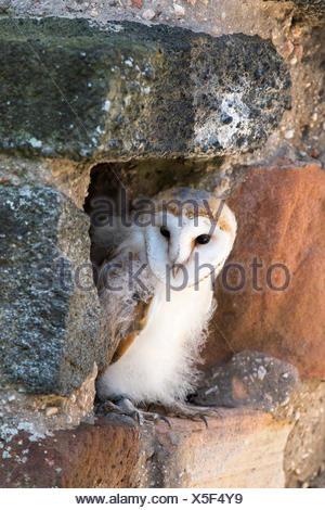 Barn owl (Tyto alba), sitting in a wall, captive, Vulkaneifel, Germany - Stock Photo