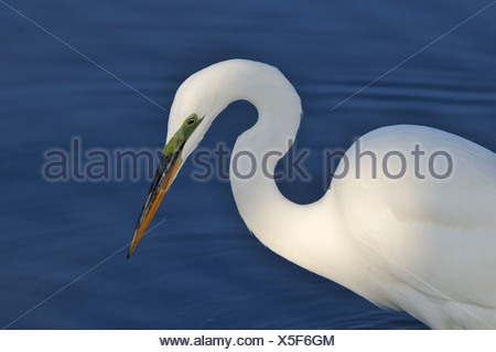Great Egret (Ardea alba) fishing at Bolsa Chica Refuge California - Stock Photo