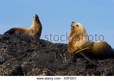 Male and female Steller sea lions, Eumetopias jubatus, resting on a rock. - Stock Photo