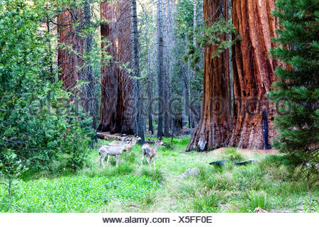Deer in Mariposa Grove,  Yosemite National Park, Calif. USA - Stock Photo