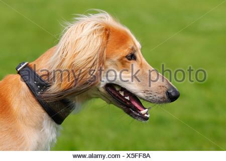 Young male Saluki, Persian Greyhound, Royal Dog of Egypt, dog (Canis lupus familiaris) sighthound breed, domestic dog - Stock Photo