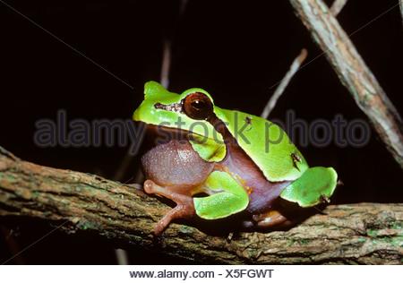 Pine Barrens Tree Frog ( Hyla andersoni) sitting on barnch - Stock Photo