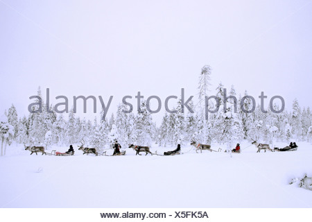 reindeer (Rangifer tarandus), reindeer sledges in snowy scenery, Finland, Lapland - Stock Photo
