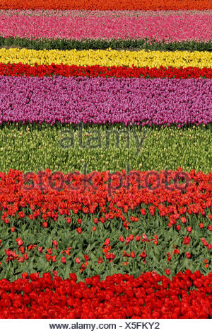 tulips in a variety of colours - Stock Photo