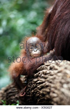 Bornean Orangutan (Pongo pygmaeus), young in a tree, Asia