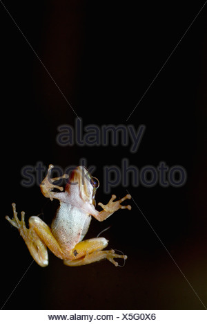 Foothill Yellow-legged Frog on a glass door showing its white underside, yellow legs, feet, and belly against a black - Stock Photo