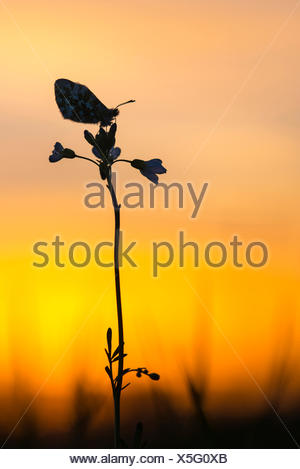 Orange-tip (Anthocharis cardamines), sitting on a bitter-cress in backlight, Germany, Lower Saxony, Oldenburger Muensterland - Stock Photo