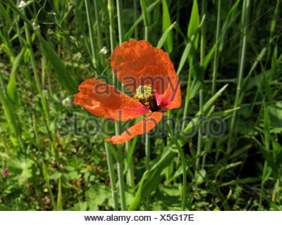 Yellow-juiced Poppy, Long-headed poppy, Field poppy (Papaver lecoqii, Papaver dubium ssp. lecoqii), blooming in a cornfield, Germany, North Rhine-Westphalia - Stock Photo