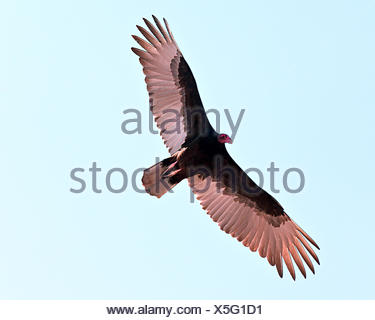 Turkey Vulture gliding in sky, Arizona, USA - Stock Photo