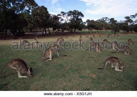 Eastern grey kangaroos grazing on golf course {Macropus giganticus} Victoria, Australia - Stock Photo