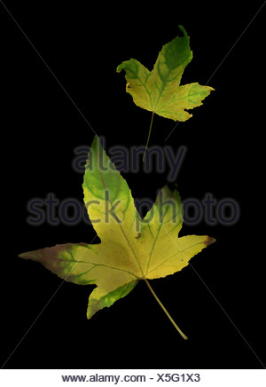 Two autumn leaves - Stock Photo