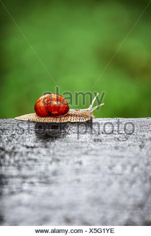 Big snail crawling on a wooden surface - Stock Photo