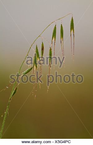 animated oat, sterile oat (Avena sterilis), inflorecence in morning dew, Balearen, Majorca - Stock Photo