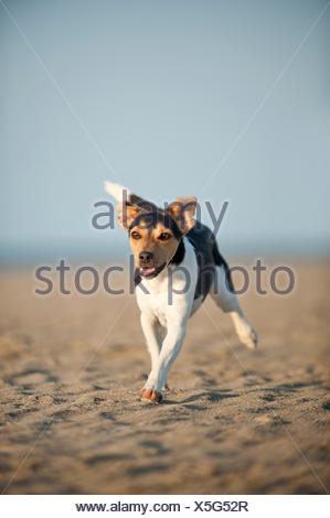 Dansk-Svensk Gardshund or Danish-Swedish Farmdog running along the beach - Stock Photo