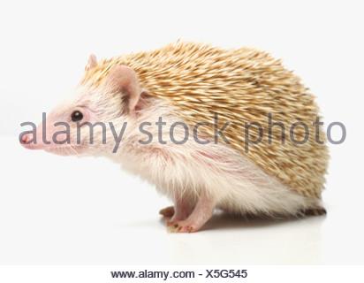 Four-toed Hedgehog, African Pygmy Hedgehog (Atelerix albiventris), pet hedgehog - Stock Photo