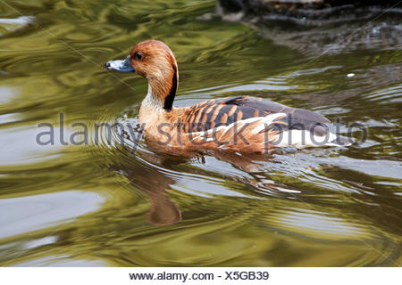 Fulvous Whistling Duck (Dendrocygna bicolor) in pond, South Africa, - Stock Photo