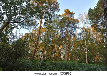 ferns in understory of a pine tree wood at Rochers d´Angennes site in the Forest of Rambouillet, Haute Vallee de Chevreuse Regional Natural Park, - Stock Photo