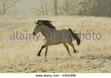 Mangalarga Marchador running - Stock Photo