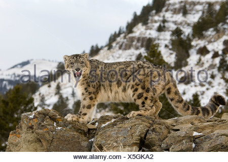 Low angle view of a Snow leopard (Panthera uncia) standing on a rock - Stock Photo