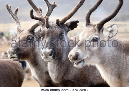 Sweden, Lapland, Levas, Portrait of three reindeer (Rangifer tarandus) - Stock Photo