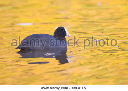 Common Coot (Fulica atra) on water, North Hesse, Hesse, Germany - Stock Photo
