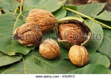 walnuts lie on fresh walnussblaettern - Stock Photo