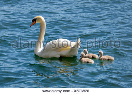 Mute Swan (Cygnus olor), chicks in the water, Lake Lugano, Canton of Ticino, Switzerland - Stock Photo