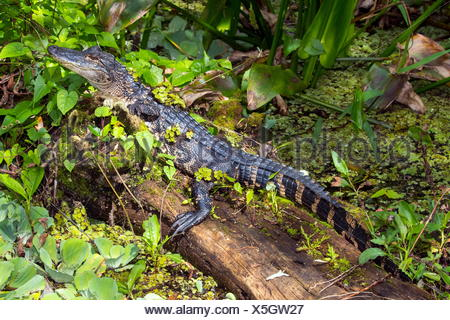 An American alligators, Alligator mississippiensis, resting on a log. - Stock Photo