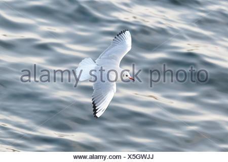 black-headed gull (Larus ridibundus, Chroicocephalus ridibundus), flying over water, Germany, North Rhine-Westphalia - Stock Photo
