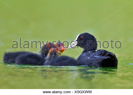 Germany, View of Eurasian Coot feeding chicks in water, close up - Stock Photo