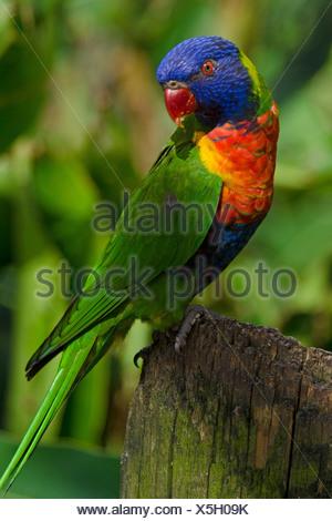 rainbow lorikeet, Trichoglossus haematodus, lorikeet, bird - Stock Photo