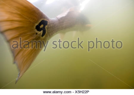 A view of a redfish tail fin underwater. - Stock Photo