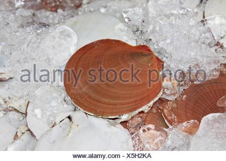 Placopecten magellanicus - Stock Photo