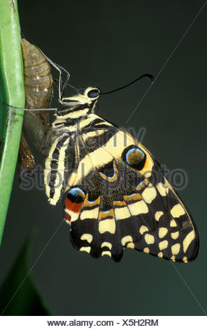 Lime Swallowtail Butterfly, Papilio demoleus, Asia and Australia, just hatched from Pupae, common lime butterfly, lemon butterfly, small citrus butter - Stock Photo
