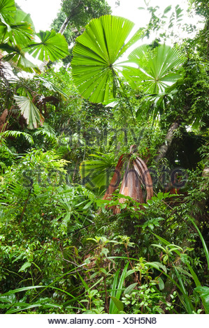Red latan palm, Australian Fan Palm (Licuala ramsayi), in rainforest, Australia, Queensland, South Mission Beach - Stock Photo