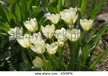Tulip White Triumphator, Lily-Flowered Tulip - Stock Photo