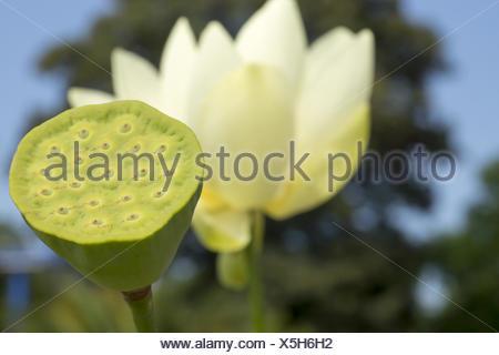 lotus, nelumbonaceae - Stock Photo