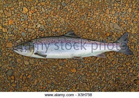 Atlantic salmon, ouananiche, lake Atlantic salmon, landlocked salmon, Sebago salmon (Salmo salar), smolt, Ireland, River Moy - Stock Photo