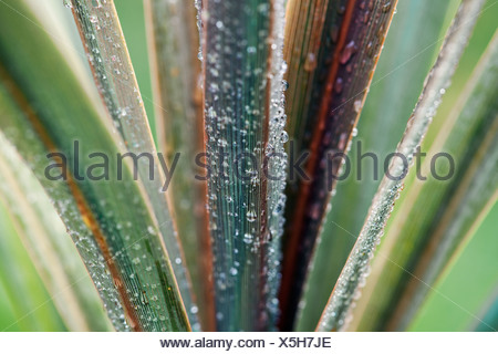 Cordyline australis 'Sundance', Cordyline, Close up of leaves with frost. - Stock Photo