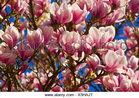 saucer magnolia (Magnolia x soulangiana, Magnolia soulangiana, Magnolia x soulangeana, Magnolia soulangeana), flowers, Germany, Bavaria - Stock Photo