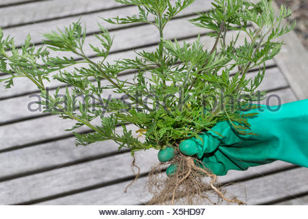 Annual ragweed, Common ragweed, Bitter-weed, Hog-weed, Roman wormwood (Ambrosia artemisiifolia), single Annual ragweed holding in the gloved hand, Germany - Stock Photo