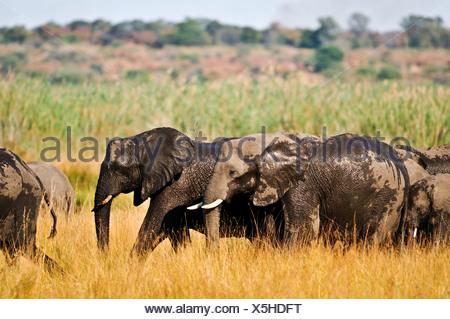Africa Bwa Bwata National Park Caprivi Grazing Namibia african elephants bath grasslands horizontal ivory migrating - Stock Photo