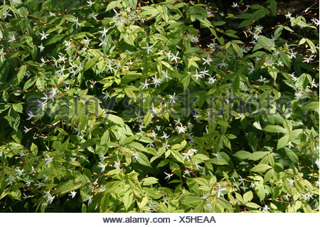 Bowmans Root Stock Photo 279184938 Alamy