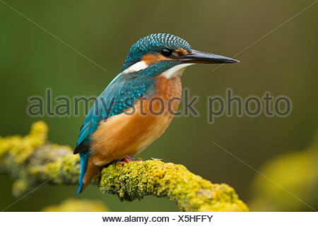 Common Kingfisher (Alcedo atthis) on a twig - Stock Photo