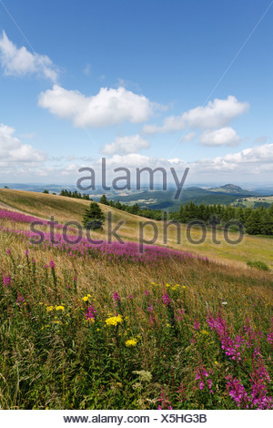 View from the Wasserkuppe plateau, lookin northwest, with the pink blossoms of Fireweed or Rosebay Willowherb (Epilobium angust - Stock Photo