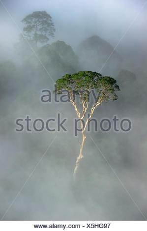 Emergent Menggaris Tree / Tualang (Koompassia excelsa) protruding from mist and low cloud hanging over lowland rainforest. Danum Valley, Sabah, Borneo. - Stock Photo