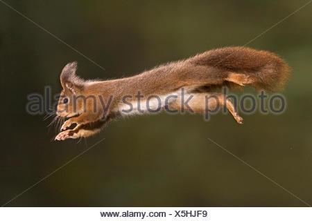 Red squirrel leaping {Sciurus vulgaris} Germany - Stock Photo